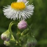 034.はるじおん春紫苑)Erigeron philadelphicus_0 (2)