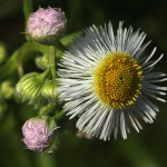 034.はるじおん春紫苑)Erigeron philadelphicus_0 (3)