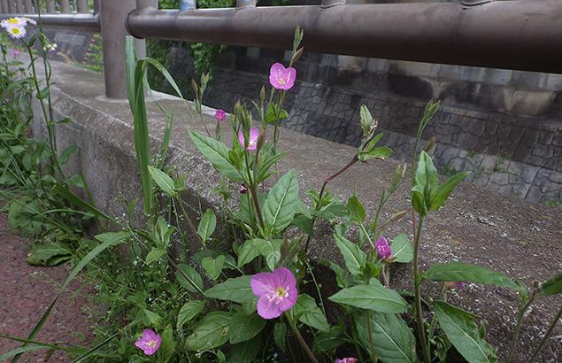 あかばなゆうげしょう(赤花夕化粧)Oenothera rosea_0