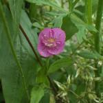 あかばなゆうげしょう(赤花夕化粧)Oenothera rosea_0 (2)