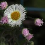 034.はるじおん春紫苑)Erigeron philadelphicus_0 (1)