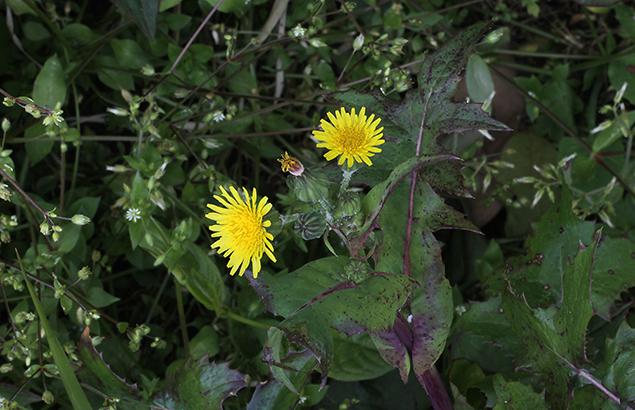 はるのげ(春野芥子)Sonchus oleraceus_0