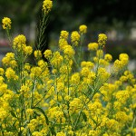 せいようあぶらな(西洋油菜)Brassica napus_0 (3)