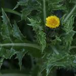 はるのげ(春野芥子)Sonchus oleraceus_0 (4)
