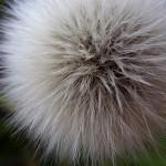 はるのげ(春野芥子)Sonchus oleraceus_0 (3)