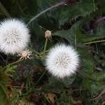 はるのげ(春野芥子)Sonchus oleraceus_0 (2)