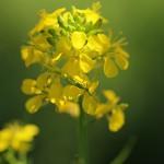 せいようあぶらな(西洋油菜)Brassica napus_0 (4)