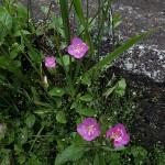 あかばなゆうげしょう(赤花夕化粧)Oenothera rosea_0 (1)