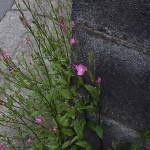 あかばなゆうげしょう(赤花夕化粧)Oenothera rosea_0 (3)