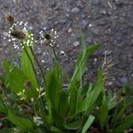 044.へらおおばこ(箆大葉子)Plantago lanceolata_0
