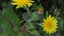 はるのげ(春野芥子)Sonchus oleraceus_0 (1)