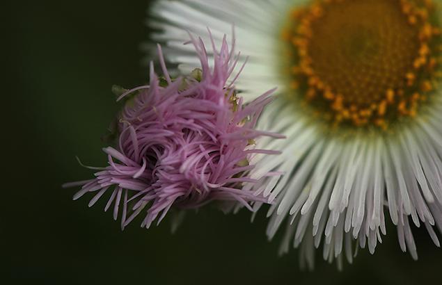 034.はるじおん春紫苑)Erigeron philadelphicus_0