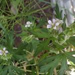 アメリカふうろ (亜米利加風路)Geranium carolinianum_0 (1)