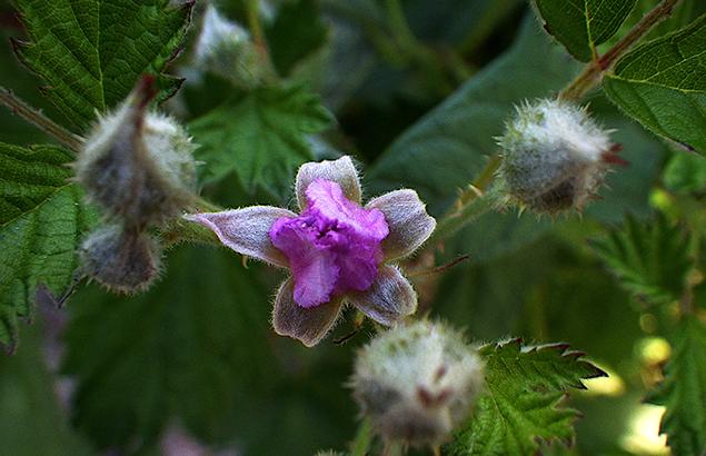 なわしろいちご(苗代苺)Rubus parvifolius_0_3