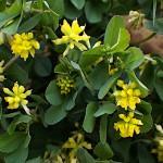 こめつぶつめくさ(米粒詰草)Trifolium dubium_0 (2)