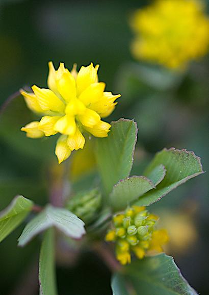 こめつぶつめくさ(米粒詰草)Trifolium dubium_0