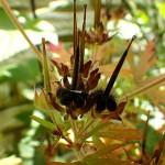 アメリカふうろ (亜米利加風路)Geranium carolinianum_0 (4)