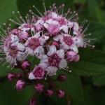 しもつけ(下野)Spiraea japonica_0 (2)