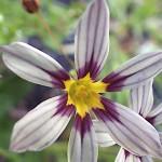 にわぜきしょう (庭石菖)Sisyrinchium rosulatum_0