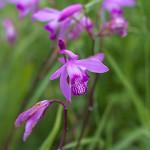しらん(紫蘭)Bletilla striata_0 (1)