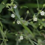 のみのつづり(蚤の綴り)Arenaria serpyllifolia_0 (1)