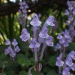 051.こばのたつなみ(小葉の立浪)Scutellaria indica var. parvifolia_1
