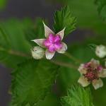 なわしろいちご(苗代苺)Rubus parvifolius_0_1