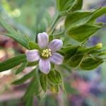 アメリカふうろ (亜米利加風路)Geranium carolinianum_0