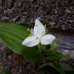 ときわつゆくさ(常磐露草)Tradescantia fluminensis_0 (3)