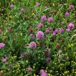 あかつめくさ (赤詰草、紫詰草)Trifolium pratense_0 (4)