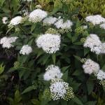 しもつけ(下野)Spiraea japonica_0 (5)
