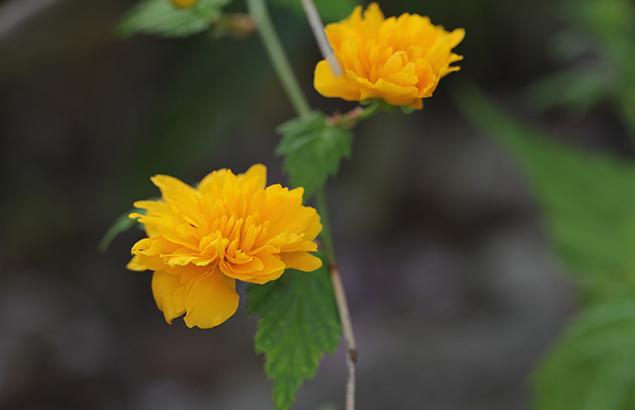 やえやまぶき(八重山吹)Kerria japonica cv. Plena_0 (2)