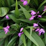 しらん(紫蘭)Bletilla striata_0 (0)