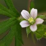 059.アメリカふうろ (亜米利加風路)Geranium carolinianum_0 (2)