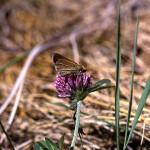 あかつめくさ (赤詰草、紫詰草)Trifolium pratense_0 (5)