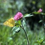 あかつめくさ (赤詰草、紫詰草)Trifolium pratense_0