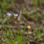 にわぜきしょう (庭石菖)Sisyrinchium rosulatum_0 (3)
