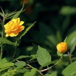 やえやまぶき(八重山吹)Kerria japonica cv. Plena_0 (1)