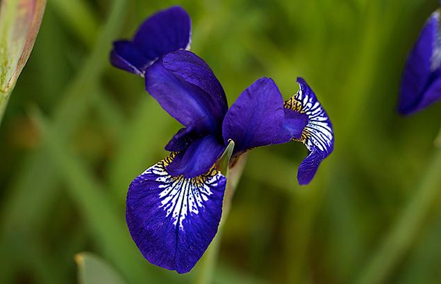 あやめ(菖蒲、綾目)Iris sanguinea_0
