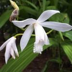 しらん(紫蘭)Bletilla striata_0 (4)