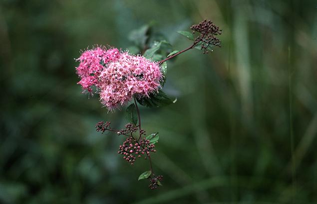しもつけ(下野)Spiraea japonica_0 (1)