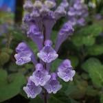051.こばのたつなみ(小葉の立浪)Scutellaria indica var. parvifolia_5