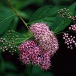 しもつけ(下野)Spiraea japonica_0