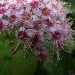 しもつけ(下野)Spiraea japonica_0 (3)