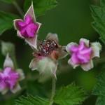 なわしろいちご(苗代苺)Rubus parvifolius_0_4