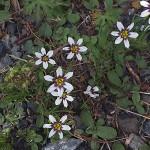 にわぜきしょう (庭石菖)Sisyrinchium rosulatum_0 (1)