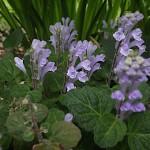 051.ばのたつなみ(小葉の立浪)Scutellaria indica var. parvifolia_3