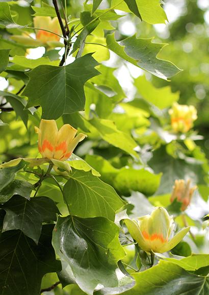 ゆりのき(百合の木)Liriodendron tulipifera_0 (3)