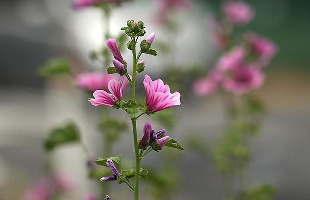 ぜにあおい(銭葵)Malva sylvestris var. mauritiana_0