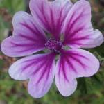 ぜにあおい(銭葵)Malva sylvestris var. mauritiana_0 (3)